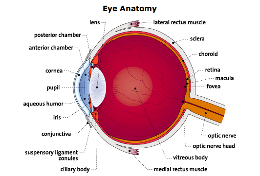 Diagram Of Ciliary Body - Online Schematic Diagram •